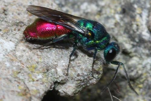 ruby tailed wasp | by ashperkins