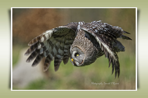 Great Grey Owl | by danob2