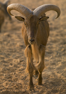 Barbary Sheep, Ghadames, Libya | by Eric Lafforgue