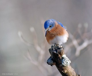Eastern Bluebird....explored | by gerstat