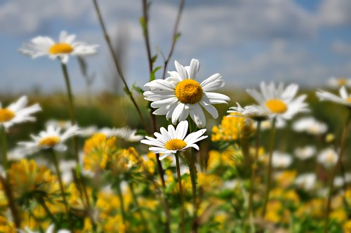 A field full of daisies | by Lamby1959