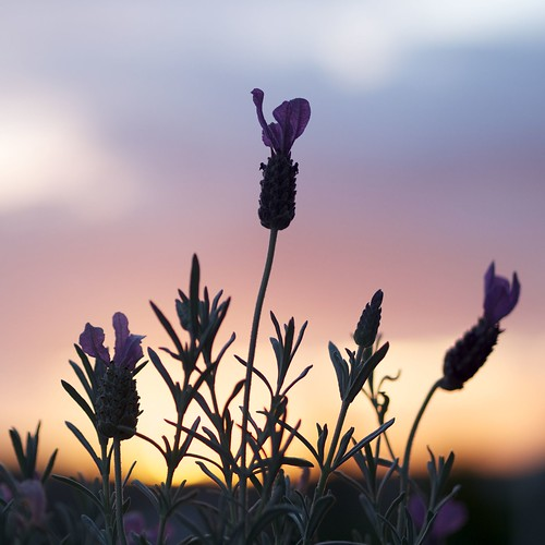 Lavender in the sunset | by jon700