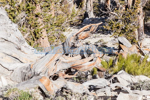 Ancient Bristlecone Pine Forest | by melastmohican