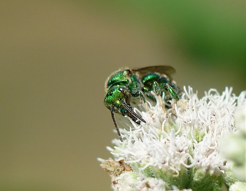 Metallic Green Sweat Bee Feeding on Boneset Flowers taken with a Panasonic FZ28 Using a LUMIX LC 55 P1160288 | by Ted_Roger_Karson