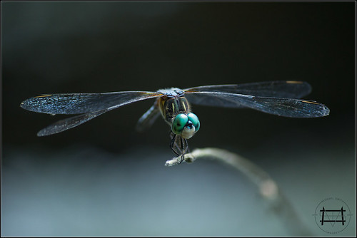 Blue Dasher | by Michael Smith Imagery