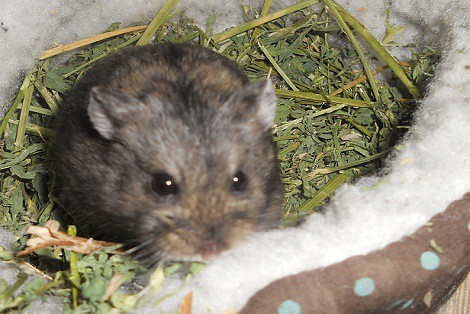 Hamster in bed filled with hay