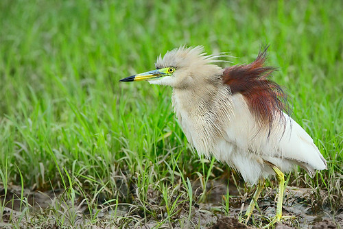Indian Pond Heron | by Rajiv Lather