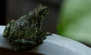 tree frog-1 | by Jos Pockett