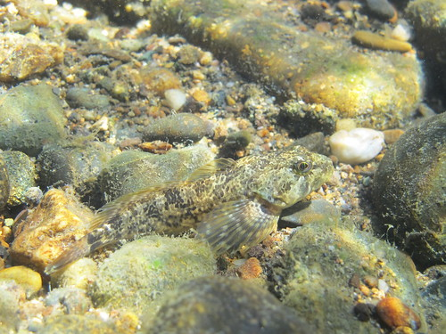 Sculpin | by FISH-BIO