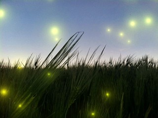 Fireflies | by BLACK EYED SUZY