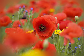 Soft on Poppies | by Jacky Parker Flower Photography