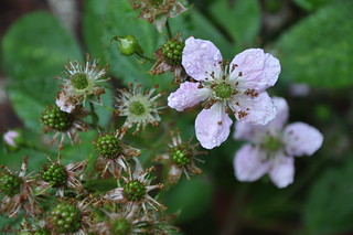 The blackberries blossom in June at Rosentorget 10 | by cwasteson