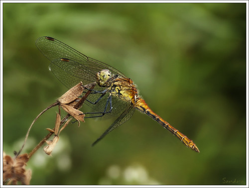 Dragonfly | by Sandra-Photographie