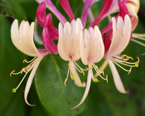 Kamperfoelje (Honeysuckle) | by Hindrik S