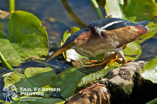 Wakodahatchee Wetlands FL - © Tail Feather Photos - Male Least Bittern With Fish - Florida Bird Photography Locations | by © Tail Feather Photos | www.tailfeatherphotos.com