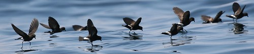 Eliot storm petrels Pelagic birding with Nature Expeditions in Peru | by stefanaustermuhle