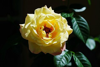 A Yellow Rose for My Marjorie | by Zoom Lens