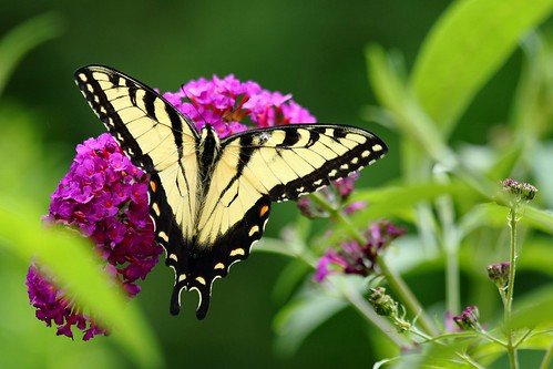 Tiger Swallowtail 02 | by timcoop
