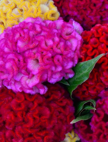 Colorful Coxcomb | by pjpink