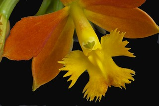 Crucifix orchid - Epidendrum sp. | by photocheck2