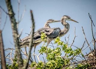 Heron Rookery at Lake Connestee-020 | by RandomConnections