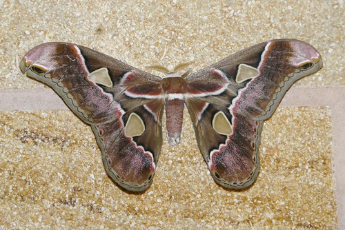 Rothschildia lebeau - Lebeau's Silkmoth -  Hodges#7761.1 | by Shawn Wainwright