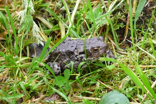 Toad at Kielder 9.7.12 | by Rhymer19