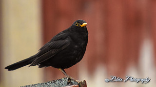 Blackbird | by Blitz Photography & Production