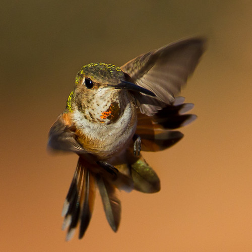 Rufus Hummingbird.jpg | by Eric Gofreed