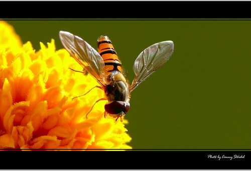 Schwebfliege auf Tagetisblüte | by Konrad Steidel (Thanks for over 1,30 Million views