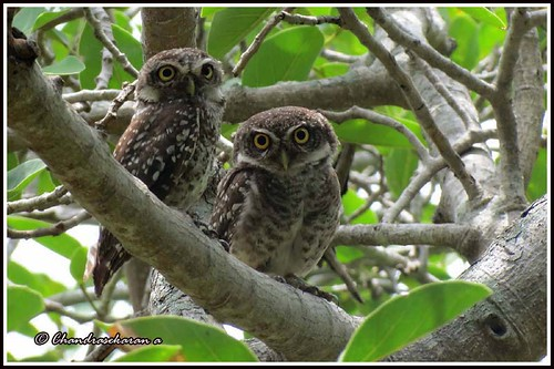 2413 - spotted owlets | by chandrasekaran a 40 lakhs views Thanks to all