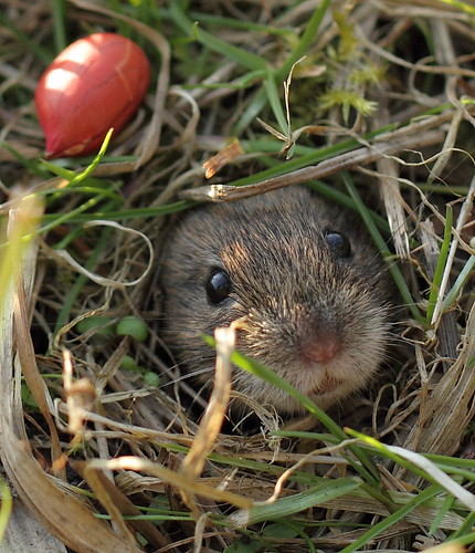 another hole, another vole | by bojangles_1953
