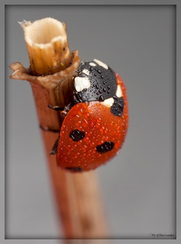~The Earlybird Ladybird~ | by Eddie The Bugman