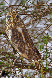 short eared owl | by kuwait birds watching لتوثيق الطيور (M