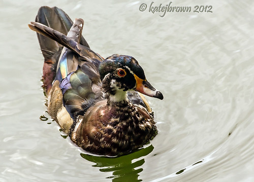 Wood Duck | by katejbrown photography