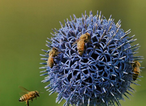 Honey Bees & Ball Thistle | by Bill Bunn
