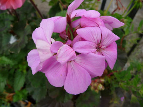 A pink pelargonium in August P1680074 | by tomylees