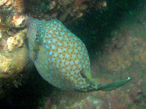 #108 blackspotted boxfish (ハコフグ) | by Nemo's great uncle