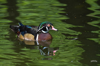 Wood Duck | by jt893x