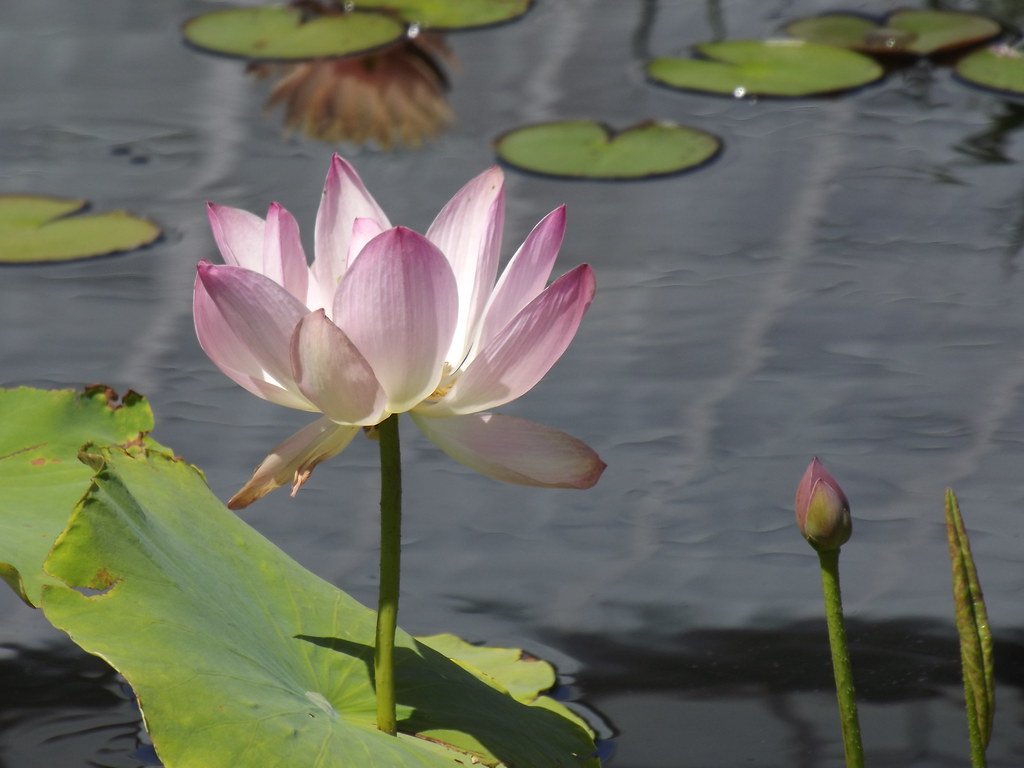 This Is Not Real Its Actually A Reflection Of A Lotus Flo Flickr
