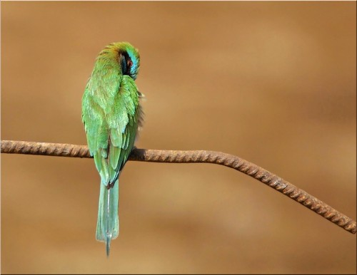 shy green bee-eater | by ammadoux