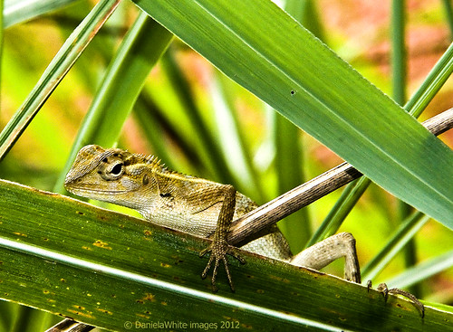 Some kind of lizard | by DWImages-Daniela White