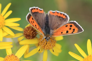 Small Copper Butterfly | by Chris*Bolton