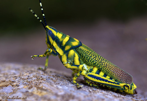 Painted Grasshopper | by thecolorbox (Very Busy)