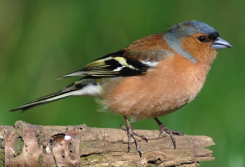 Chaffinch.-Fringilla Coelbs ( Male ) | by Zooman2009