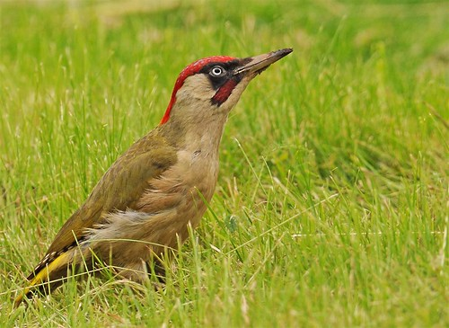 GREENWOODPECKER - picus viridis - (male) | by Bryan M2010