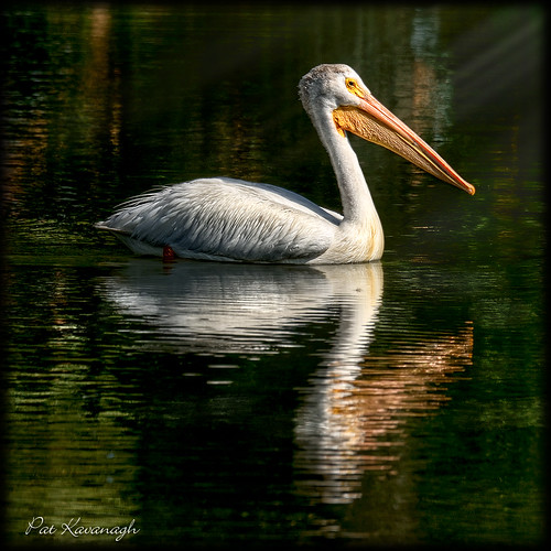 Sunset Pelican | by Pat Kavanagh