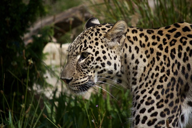 Persian leopard / Nordpersischer Leopard
