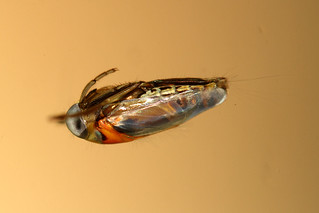 Backswimmer | by Lacewing!