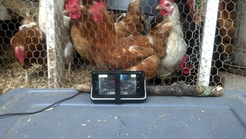 current chicken cam | by marcn